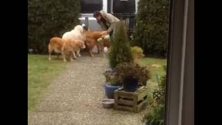 CWEB.com - Live Video of Dogs Helping taking the Groceries away after shopping.