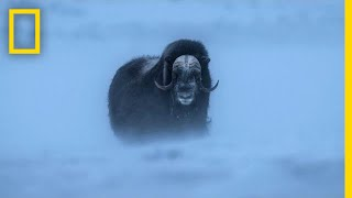 Watch Musk Ox Battle One of the Harshest Climates on the Planet | Short Film Showcase
