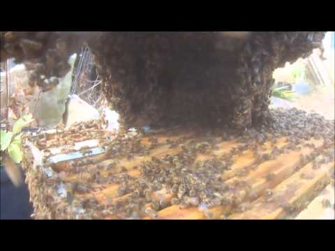 First Bees Swarm 2015