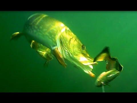 видео подводных съемок клева щуки