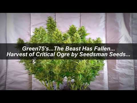 Green75's... The Beast Has Fallen... Critical Ogre Harvest by Seedsman Seeds