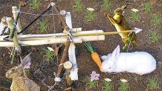 Lần Đầu Bẫy Thỏ Rừng Bằng Nỏ Thần ,Súng Thần Công  .The First Rabbit Trap With Archery