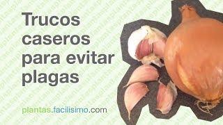 Play mariquitas atacando pulg n insecticida casero para for Eliminar cochinilla algodonosa