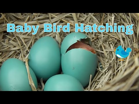 Baby Bird Hatching