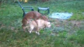 Deer fawn humps Dog