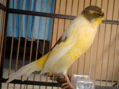 Kicau Mania Burung Kenari Yorkshire E13 - Official Video video