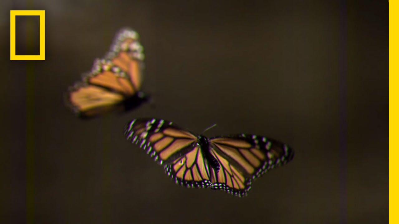 Butterflies america decline