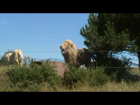Kingdom of the White Lions at West Midlands Safari Park