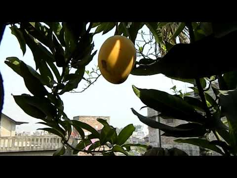 World's Smallest Mango Tree video