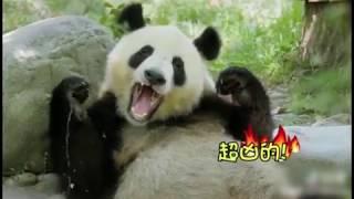 panda funny roll roll roll roll 要滾大家壹起滾