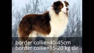 BORDER COLLİE