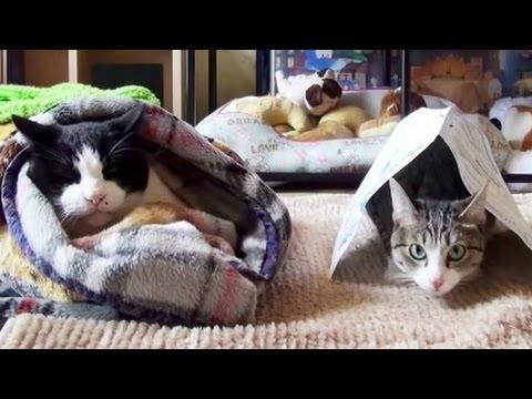毛布にくるまれた猫を羨ま...