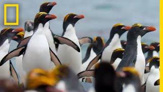 Macaroni Penguins Swim, Surf, and Dodge Seals to Survive – Ep. 2 | Wildlife: Resurrection Island