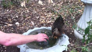 Charlie The Duck Playing In Water