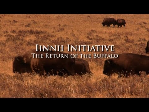 Iinnii Initiative: The Return of the Buffalo