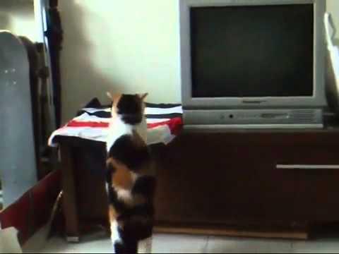 Толстый кот пытается запрыгнуть