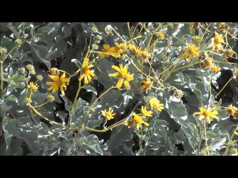 Ultimate Plant called Brittlebush, Encelia farinosa - brittle bush