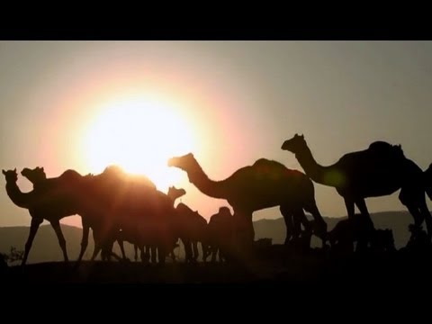 Thousands of camels make journey to India fair