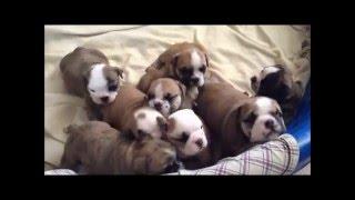 English Bulldog Puppies Birth to 5 Weeks