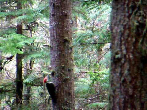 Pileated Woodpeckers Circle Tree in cumberland, B.C.