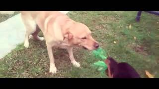Labrador vs Rottweiler playing.. (part 2)
