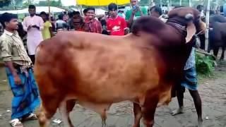 কুরবানি ঈদ ঢাকা, বাংলাদেশ ২০১৫
