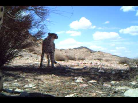 cheetahs Iran
