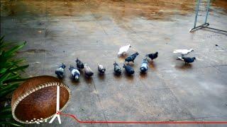 My pigeons (Chim bồ câu nhà mình)