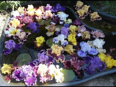 Почему не цветут ирисы? Причины и устранение.