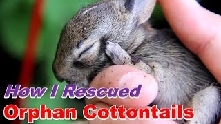 How I Cared for Baby Cottontails