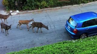 Cat vs. Deer