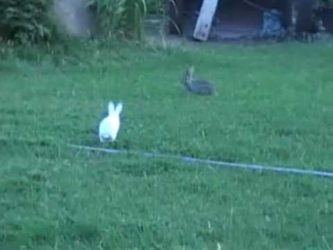 Cotton Tail Vs. Dutch Bunny