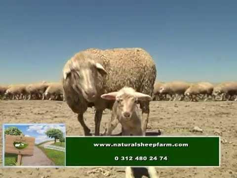 Merinos koyunu Enver BALTAŞ 0535 666 08 80