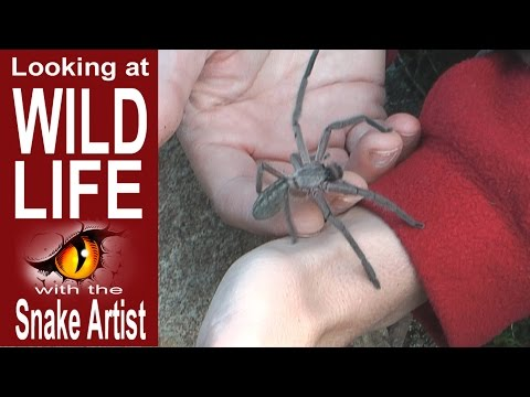 Lady Jennifer picks up a Huntsman Spider