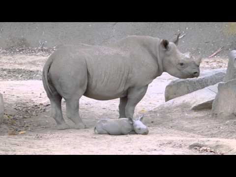 Baby Black Rhino at San Diego Zoo Safari Park