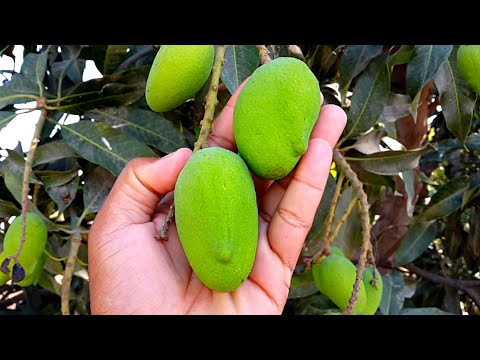Raw Mango آم Fruits In Punjab Village Life In Pakistan