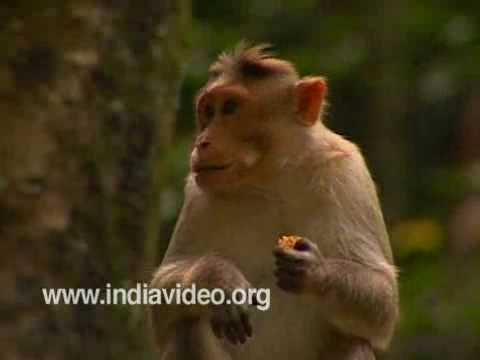 Wild Monkeys of Munnar