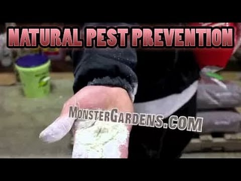 Kill Broad Mites. Aphids. Thrips. Spider Mites. Natural Pest Prevention in Garden Diatomaceous Earth