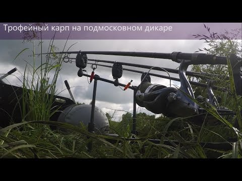 Ловля трофейного карпа. Дикий карп в подмосковье 17.06.2017