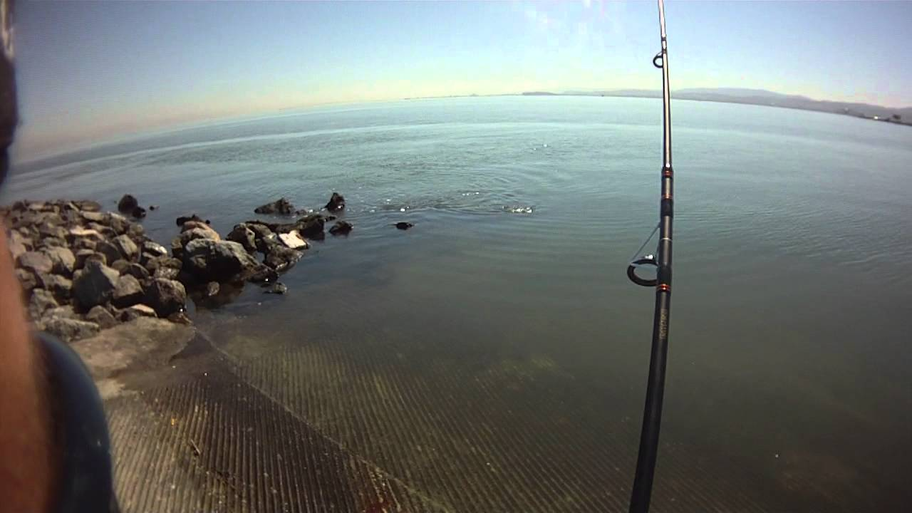 San Francisco Bay Striped Bass Fishing Youtube