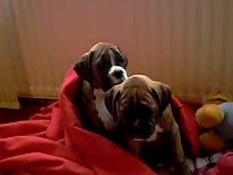Boxer puppies Boo and Jarl, trying to stay awake!