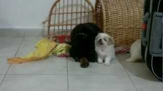 Rottweiler Puppy Playing with Pekingese Puppy.mp4