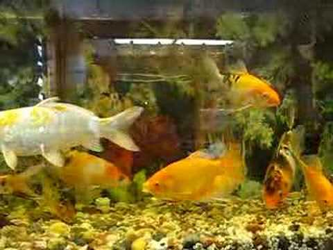My koi fish tank youtube for Koi fish tank
