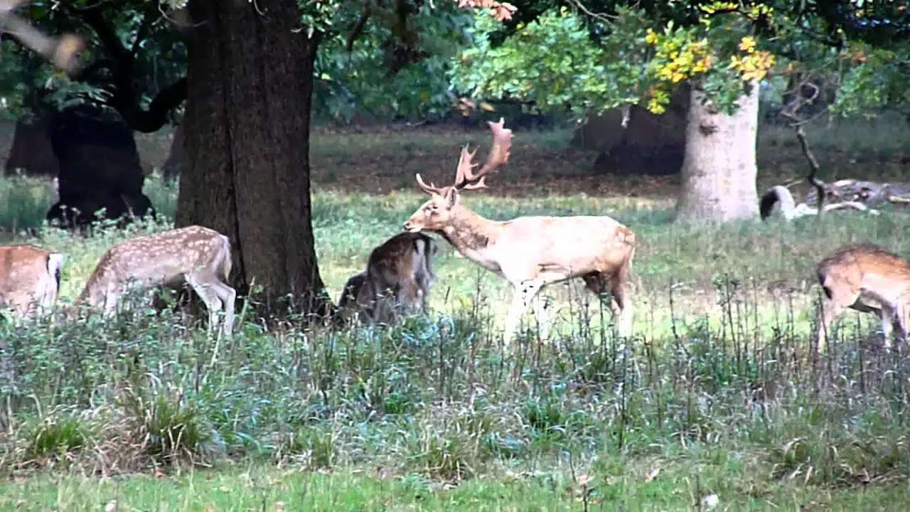 European Fallow Deer  Find your information here