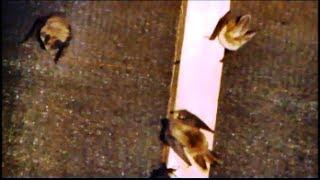 Brown long-eared bats.