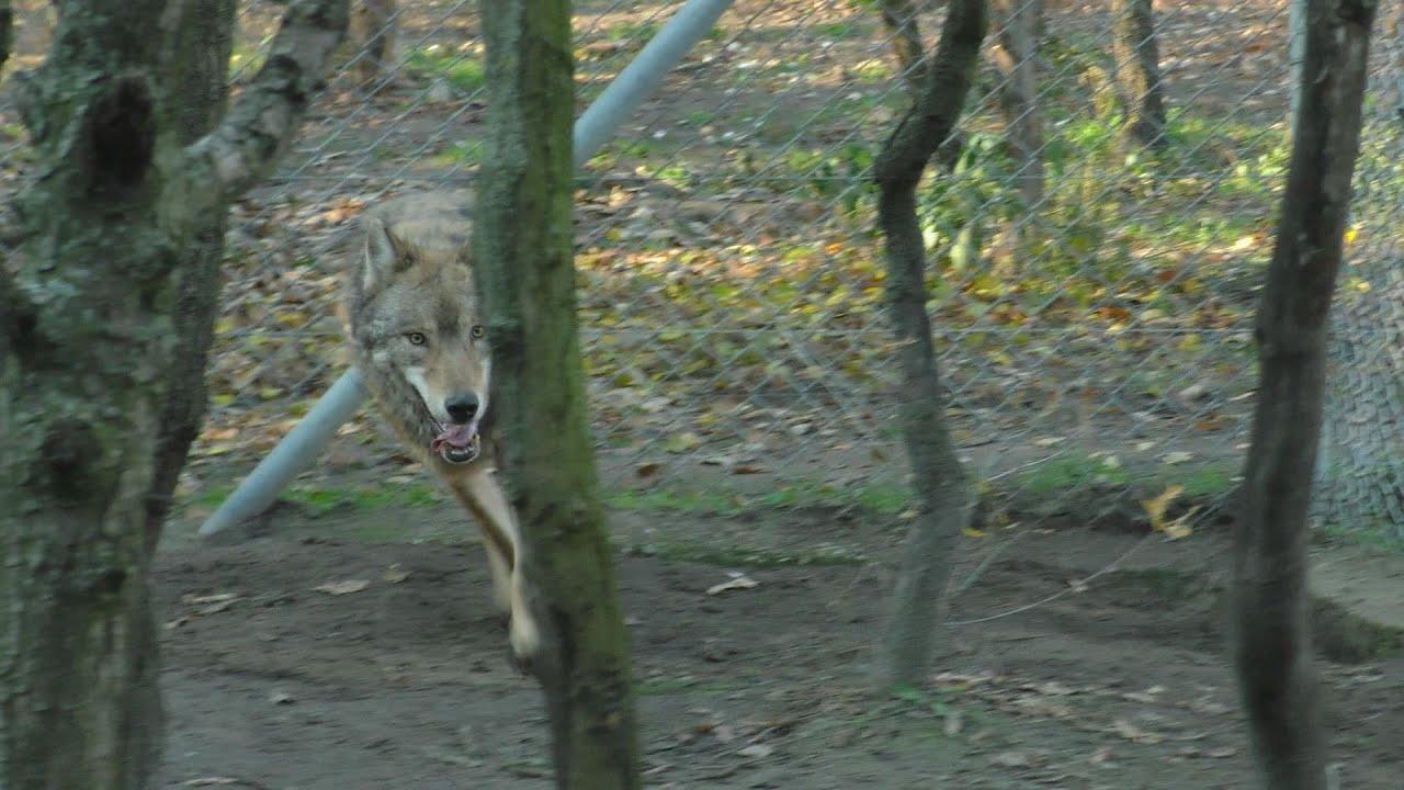 Tényleg ki kellett lőni a farkast Pécsen?