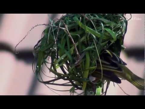 Bird Making A Nest video