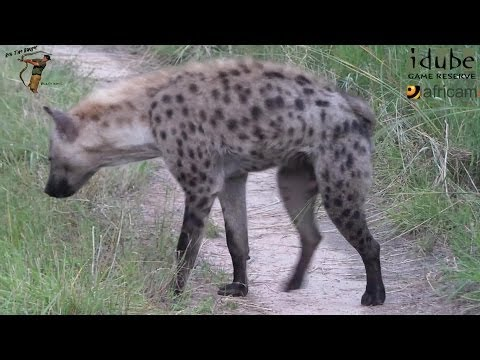 Hyena Anal Gland Marking video