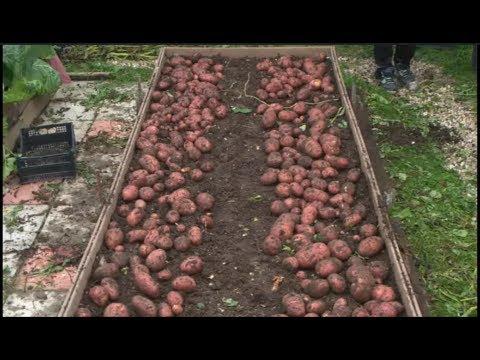 Выращивание картофеля в коробе под мульчёй