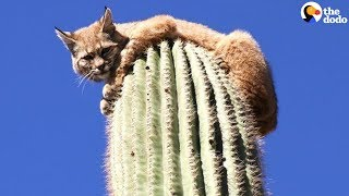 How Did This Bobcat Get On Top Of 45-Foot Cactus?! | The Dodo